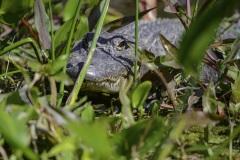 florida-wakulla-aprings-Gator-in-the-Grass