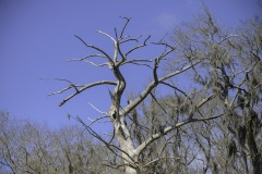 florida-wakulla-springs-Cypress-Tree